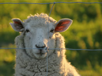 ABOUT SHEEP