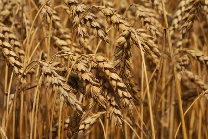 Types of Wheat Grain