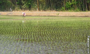 Adopting latest rice planting systems