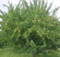 How To Grow And Care For A Peach Tree