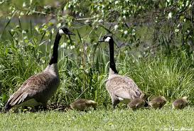 Canadian Goose Burger, Anyone? Eating Invasive Species to Control Their Numbers