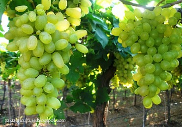 Production Technology (CPT) of GRAPES in Pakistan