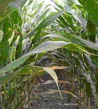 Management of Grain Sorghum Diseases in Missouri