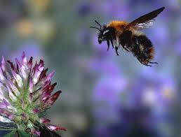 Importing bumblebees for farming and gardening is spreading disease