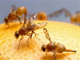 Saving citrus from fruit fly