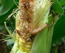 Pioneer: Corn Earworm, Western Bean Cutworm Management Tips for