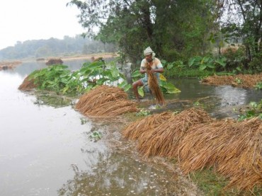 Standing paddy crop badly hit by flood