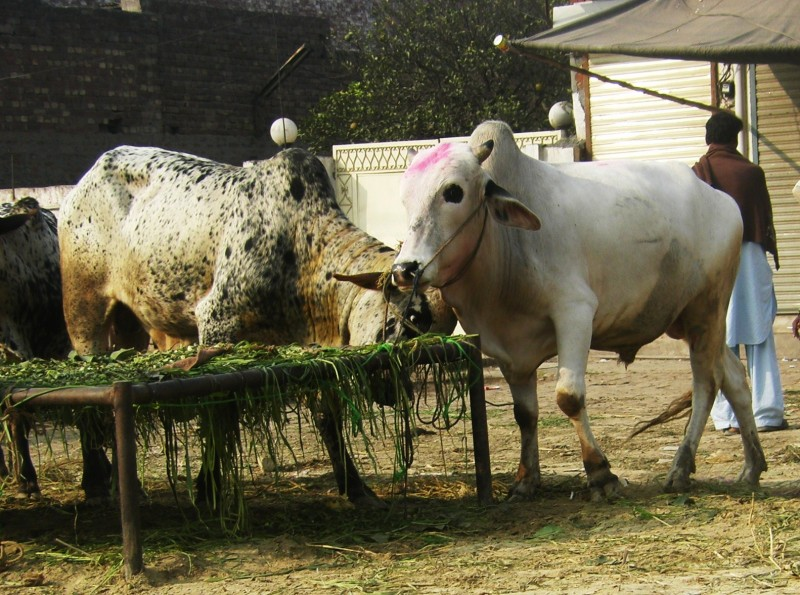 Manifold increase in prices of sacrificial animals
