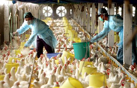 Bird Flu and Chicken Factory Farms: Profit Bonanza for US Agribusiness