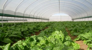 Farmers go for tunnel technology to improve productivity