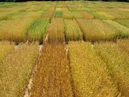 Pakistan develops Ug99-resistant wheat varieties