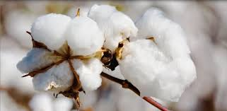 Cotton market: rates firm on rising demand by mills