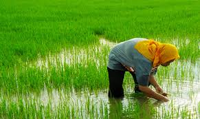 Farmers, rice millers to work towards value addition in Pakistan