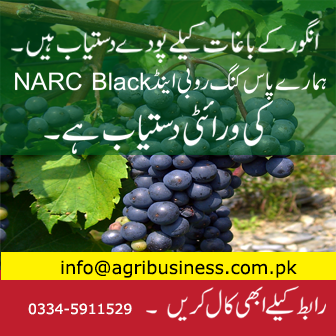 Grapes Farming in Pakistan