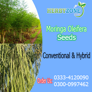 Moringa Seeds Available in Pakistan