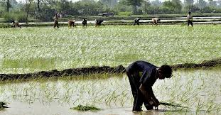 Steep fall in rice exports