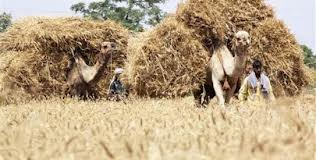 Government may miss 25 million tons of wheat production target