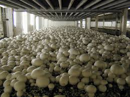 Punjab farmers reaping rich dividends with Mushroom cultivation