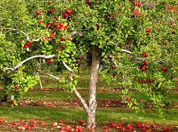 Information about fruit trees, plants and trees for sale