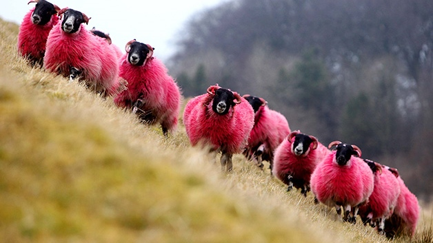 Red sheep take to the hills in Scotland