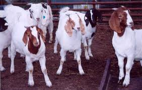 Goat Breeding Tips for Livestock Farmers (Urdu)
