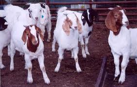 Goat Breeding Tips for Livestock Farmers (Urdu)