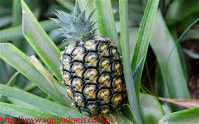 A Success Story of Commercialization of Pineapple in Pakistan