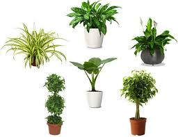 Six Air Purifying House Plants
