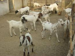 Goat Farming in Sindth Pakistan