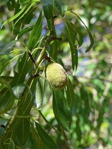 Almond Tree Information