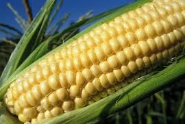 Maize: cereal with a variety of uses