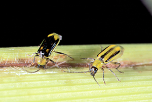 Corn Rootworms