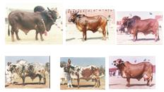 Cattle Breeds in Pakistan