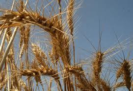 Wheat Take-all