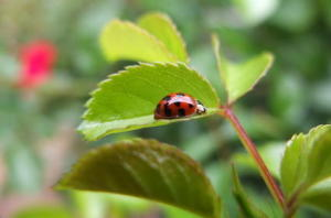 Introduction of Asian Ladybugs Into Europe Serious Mistake, Experts Say