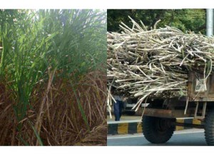 Minimum purchase price of sugarcane fixed at Rs 170 per 40kg