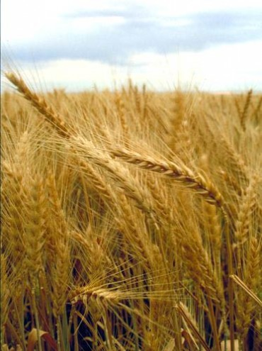 High input costs to adversely impact wheat output