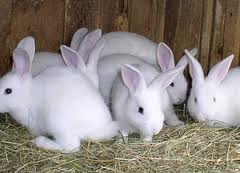 Rabbit Farming for Meat: Livestock