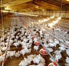 Methodologies for Gas Emission Measurement in Broiler Houses: Poultry and Livestock