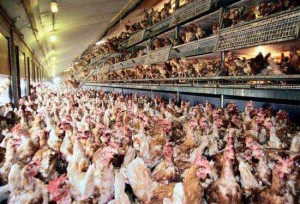 FDA Admits Factory Farmed Chicken Contains Cancerous Arsenic, Source of Arsenic is Shocking