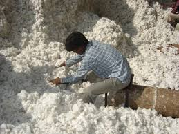Fiscal Year 2013 raw cotton export slumps by 67 percent