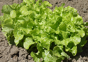 Itching to Plant Something? 6 Fast-Growing Vegetables For The Restless Gardener