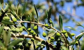 Potohar Region declared Olive Valley by govt