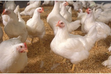 Government committed to resolving poultry industry issues