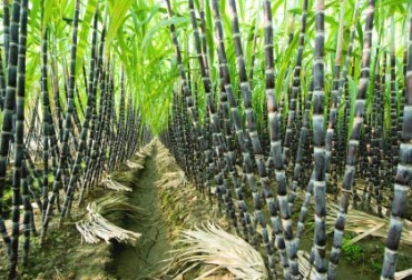 Sugarcane crushing could face delay