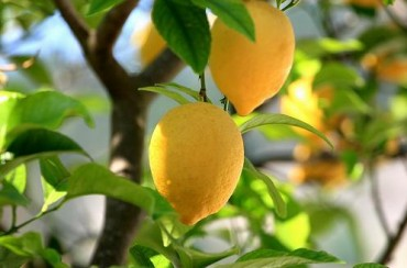 How to Grow Citrus Fruits