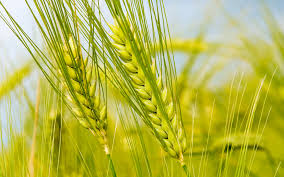 Wheat sowing advisory issued to avoid yield loss in Pakistan