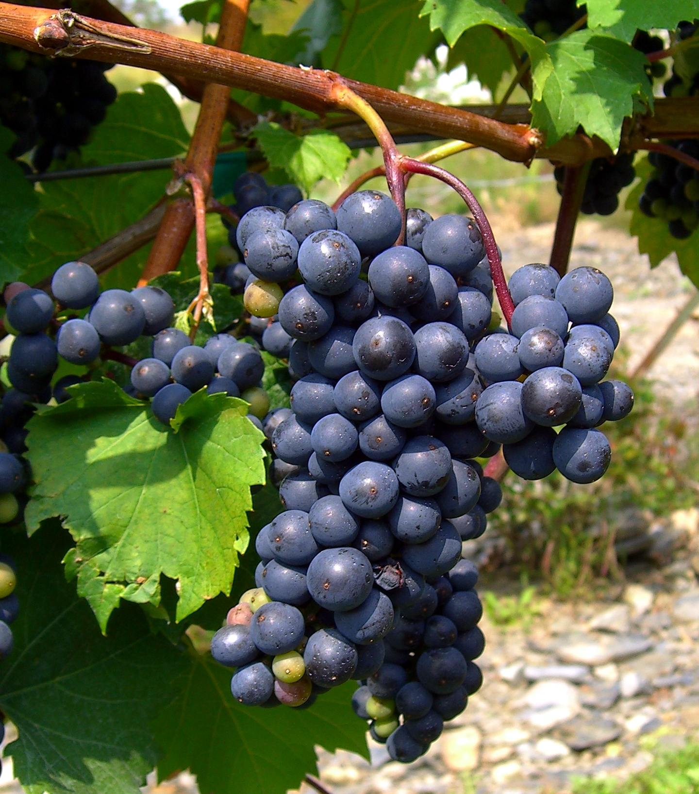 Grapes Farming in Pakistan, NARC Black and King Ruby ...