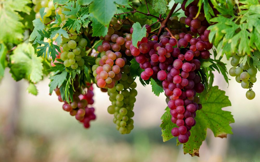 Production of Grapes in paksitan