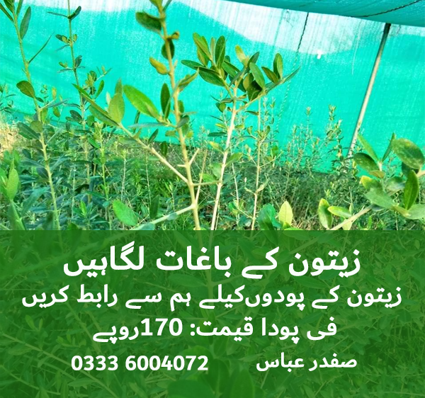 Zaitoon Plants for Sales in Pakistan